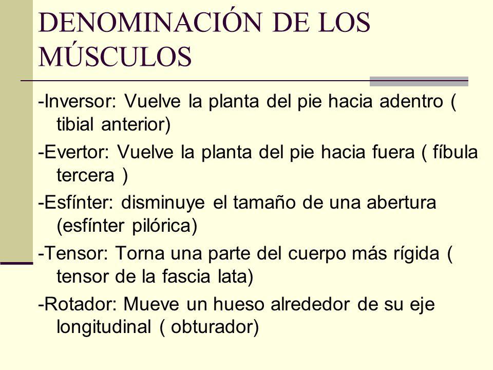 DENOMINACIÓN DE LOS MÚSCULOS -Inversor: Vuelve la planta del pie hacia adentro ( tibial anterior) -Evertor: Vuelve la planta del pie hacia fuera ( fíb