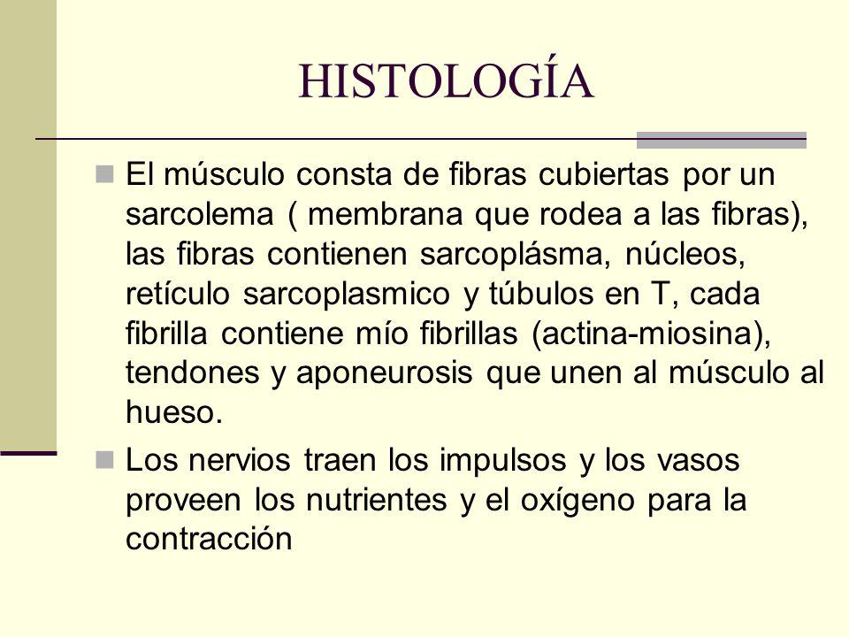 HISTOLOGÍA El músculo consta de fibras cubiertas por un sarcolema ( membrana que rodea a las fibras), las fibras contienen sarcoplásma, núcleos, retíc