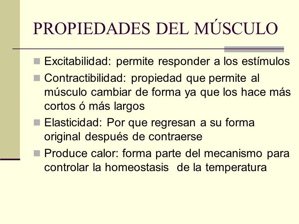 PROPIEDADES DEL MÚSCULO Excitabilidad: permite responder a los estímulos Contractibilidad: propiedad que permite al músculo cambiar de forma ya que lo