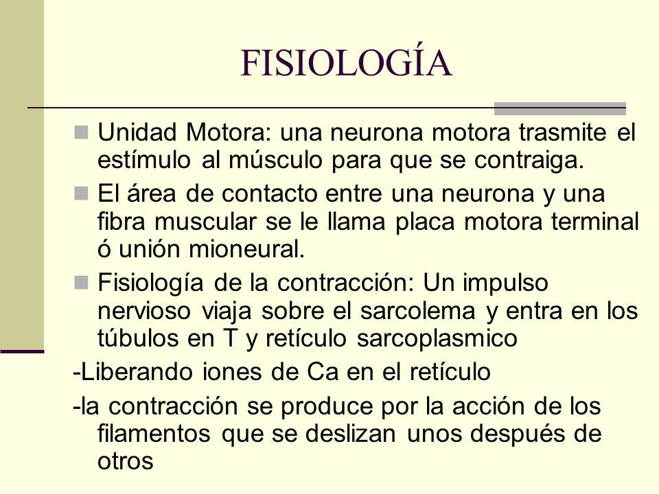 FISIOLOGÍA Unidad Motora: una neurona motora trasmite el estímulo al músculo para que se contraiga. El área de contacto entre una neurona y una fibra