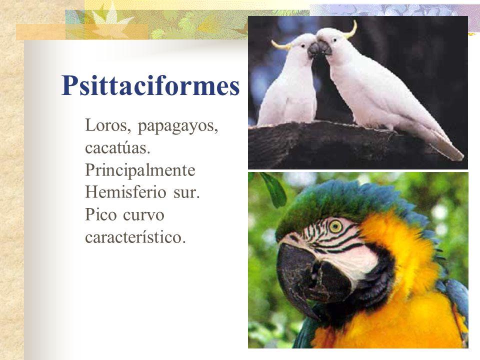Psittaciformes Loros, papagayos, cacatúas.Principalmente Hemisferio sur.