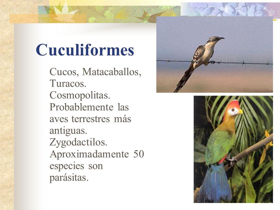 Cuculiformes Cucos, Matacaballos, Turacos.Cosmopolitas.