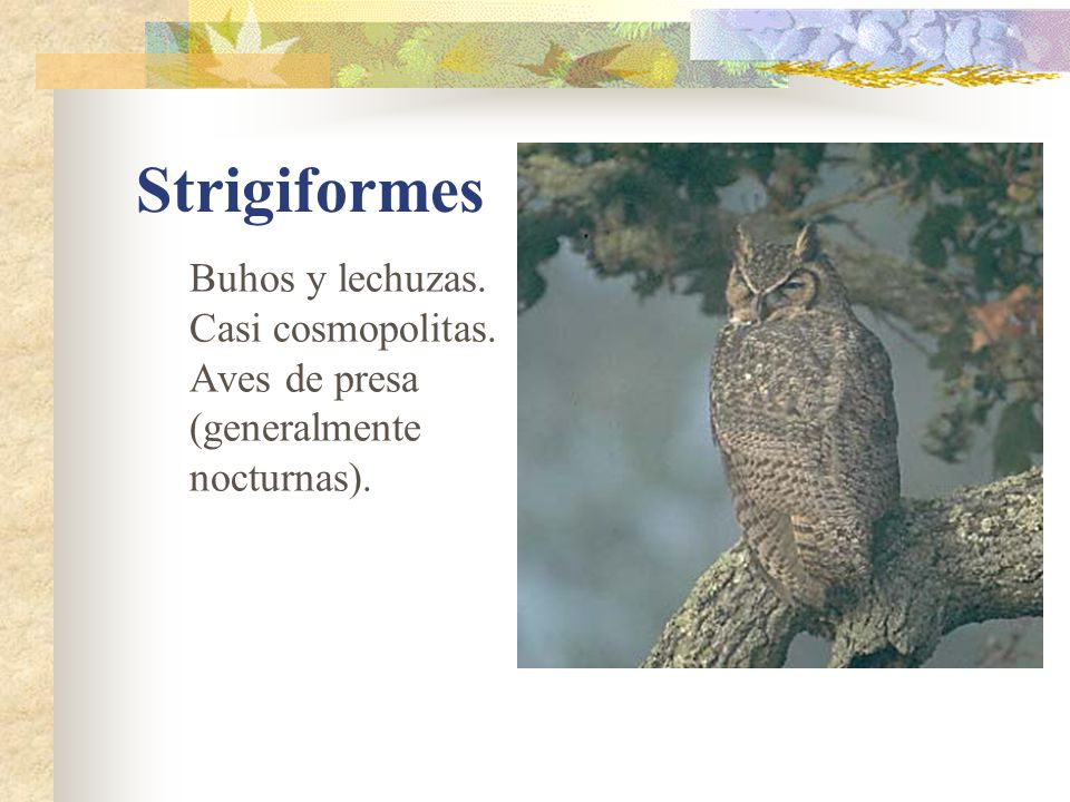 Strigiformes Buhos y lechuzas. Casi cosmopolitas. Aves de presa (generalmente nocturnas).