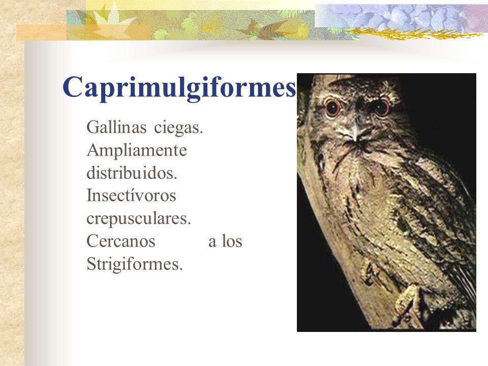Caprimulgiformes Gallinas ciegas.Ampliamente distribuidos.