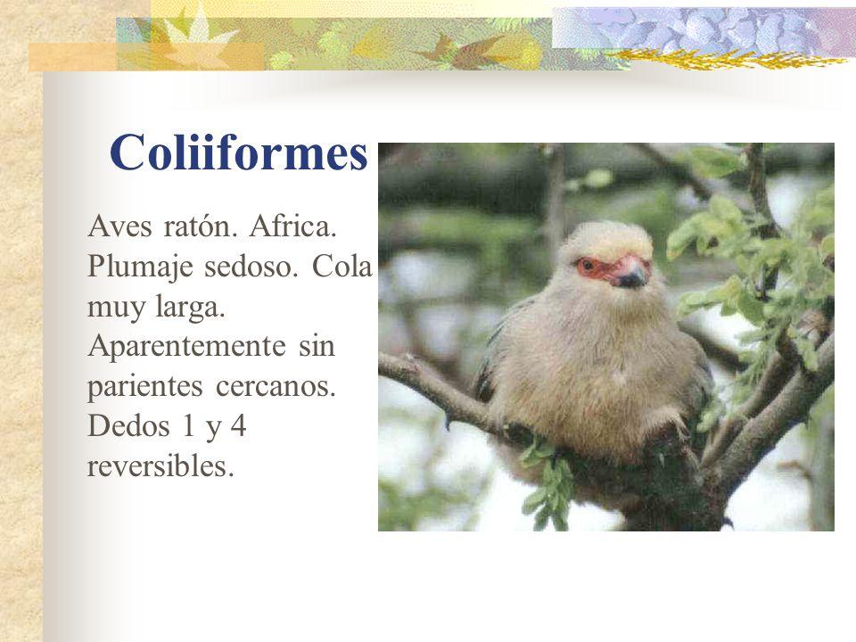 Coliiformes Aves ratón.Africa. Plumaje sedoso. Cola muy larga.