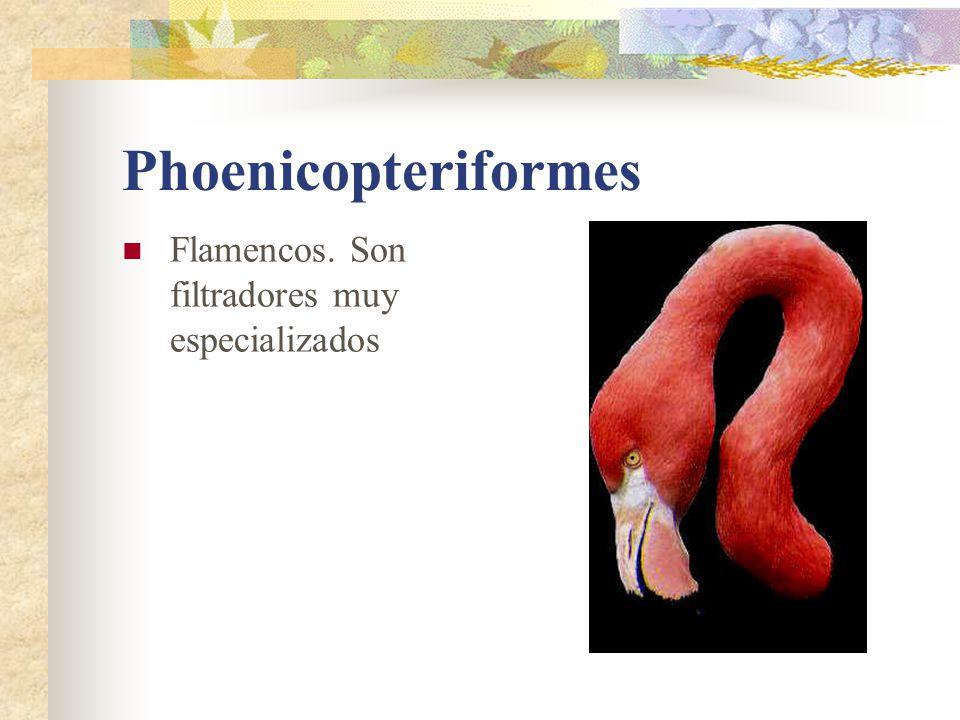 Falconiformes Cosmopolitas.Excepto antartica. Pico corto y ganchudo.