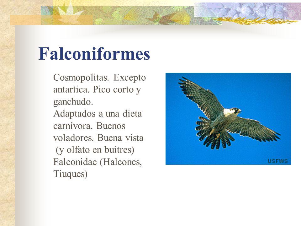 Apodiformes Vencejos y colibries.Casi cosmopolitas.