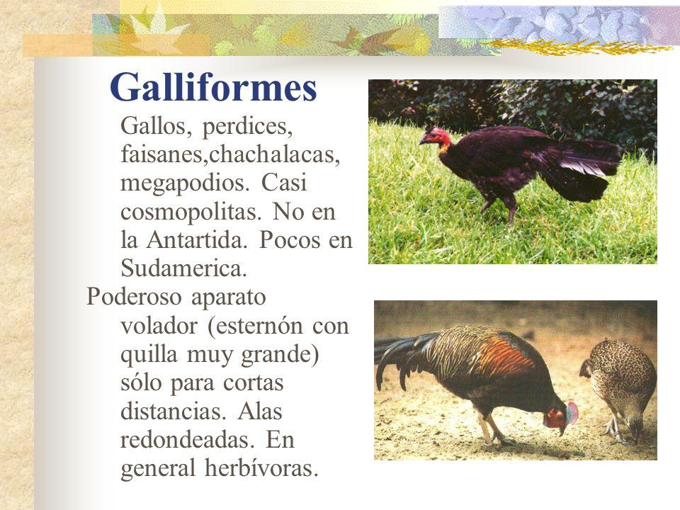 Galliformes Gallos, perdices, faisanes,chachalacas, megapodios.