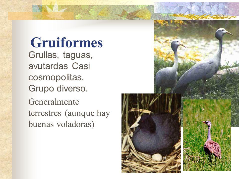 Gruiformes Grullas, taguas, avutardas Casi cosmopolitas.