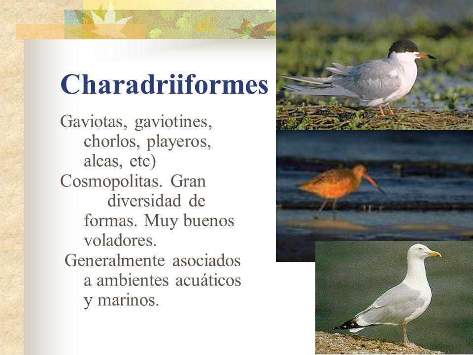 Charadriiformes Gaviotas, gaviotines, chorlos, playeros, alcas, etc) Cosmopolitas.