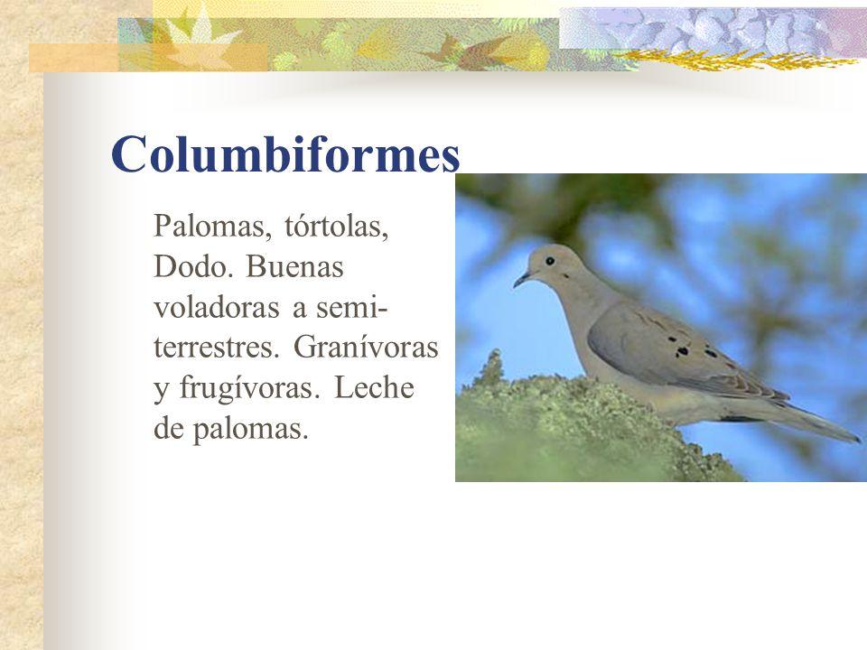 Columbiformes Palomas, tórtolas, Dodo.Buenas voladoras a semi- terrestres.