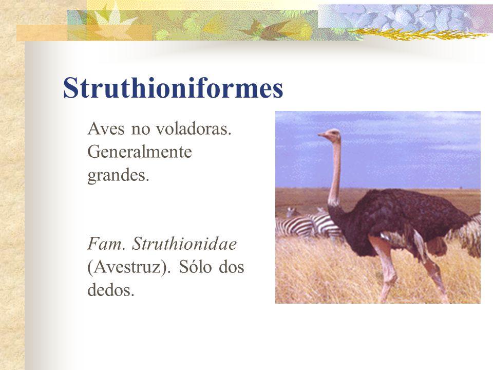 Struthioniformes Aves no voladoras. Generalmente grandes. Fam. Struthionidae (Avestruz). Sólo dos dedos.