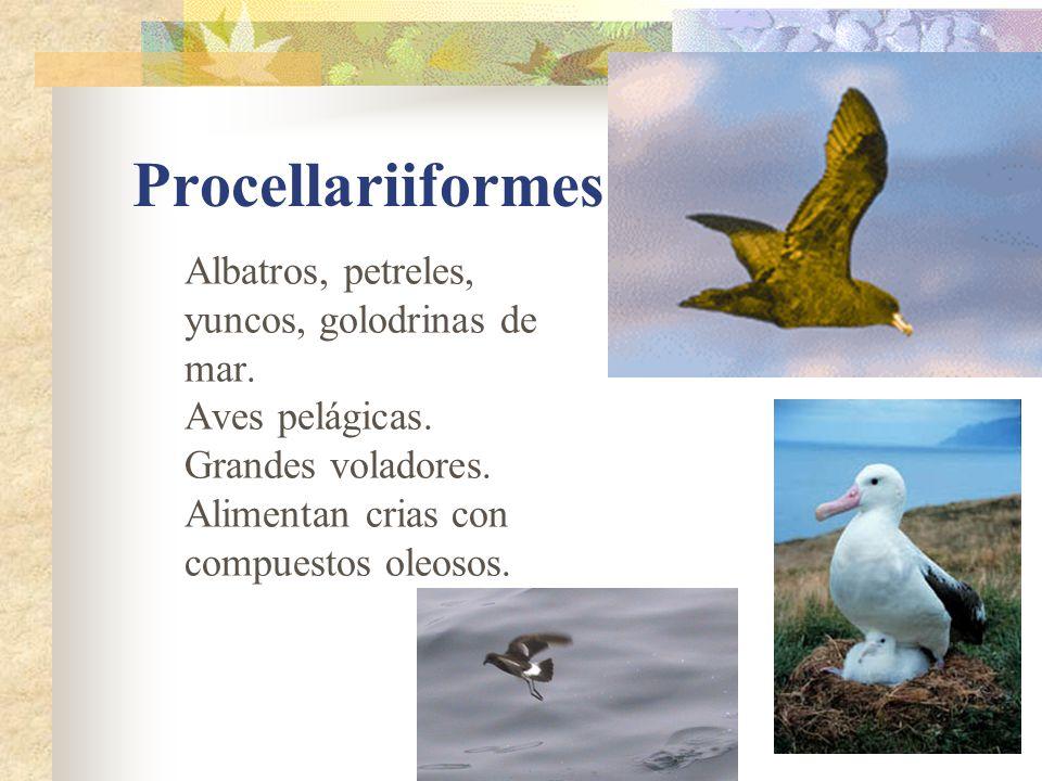 Procellariiformes Albatros, petreles, yuncos, golodrinas de mar. Aves pelágicas. Grandes voladores. Alimentan crias con compuestos oleosos.