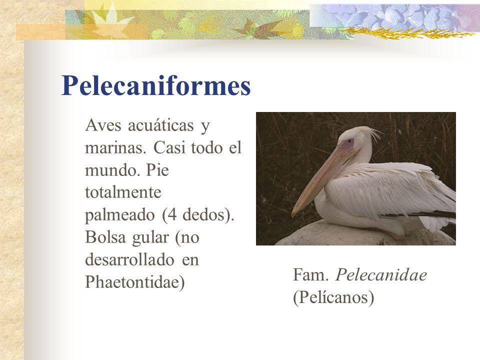 Pelecaniformes Aves acuáticas y marinas. Casi todo el mundo. Pie totalmente palmeado (4 dedos). Bolsa gular (no desarrollado en Phaetontidae) Fam. Pel