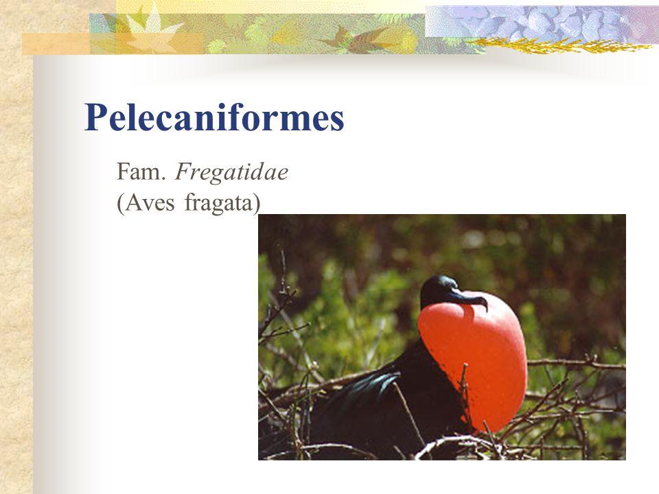 Pelecaniformes Fam. Fregatidae (Aves fragata)