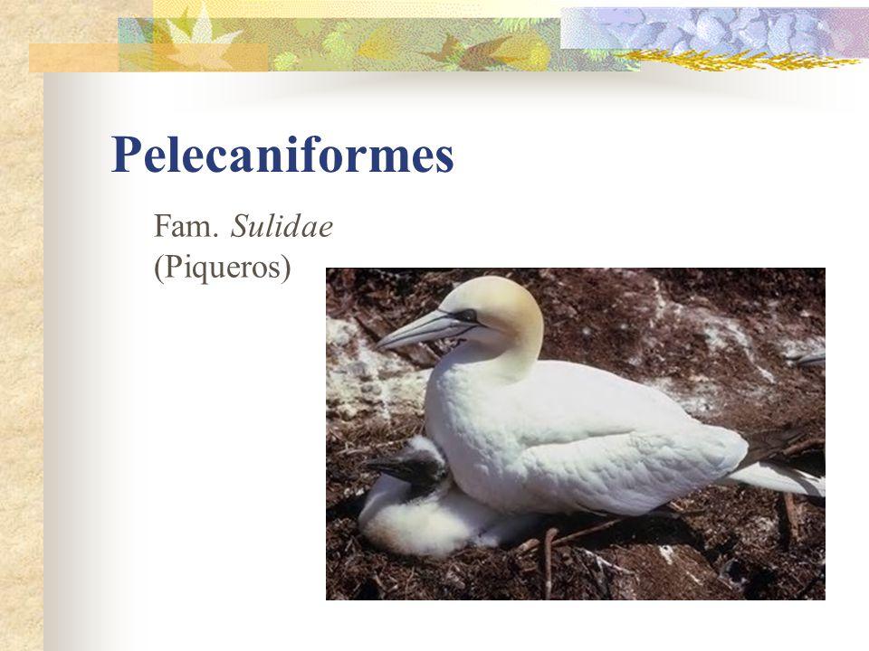 Pelecaniformes Fam. Sulidae (Piqueros)