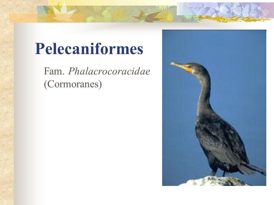 Pelecaniformes Fam. Phalacrocoracidae (Cormoranes)
