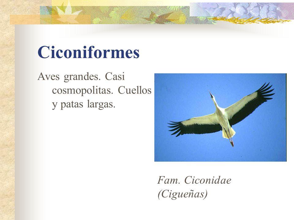 Ciconiformes Aves grandes. Casi cosmopolitas. Cuellos y patas largas. Fam. Ciconidae (Cigueñas)