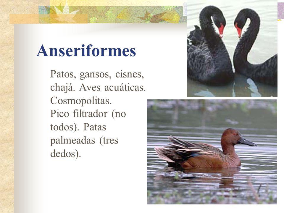 Anseriformes Patos, gansos, cisnes, chajá. Aves acuáticas. Cosmopolitas. Pico filtrador (no todos). Patas palmeadas (tres dedos).