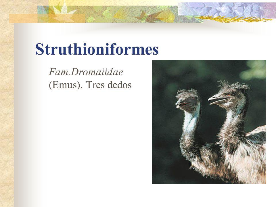 Struthioniformes Fam.Dromaiidae (Emus). Tres dedos