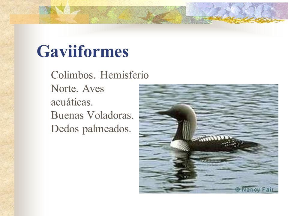 Gaviiformes Colimbos. Hemisferio Norte. Aves acuáticas. Buenas Voladoras. Dedos palmeados.