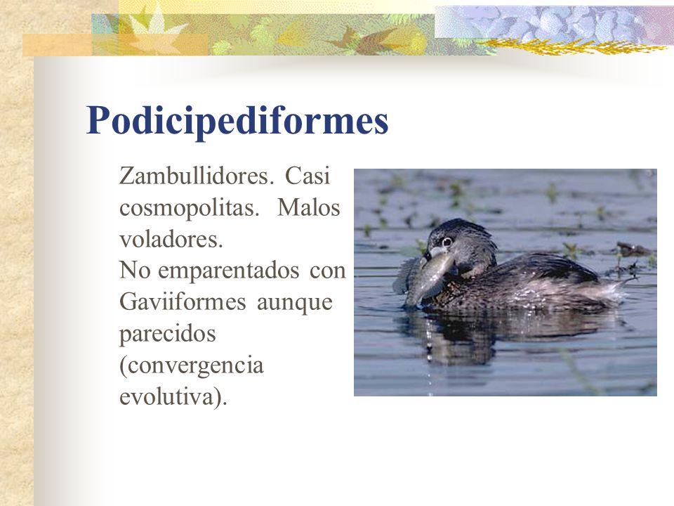 Podicipediformes Zambullidores. Casi cosmopolitas. Malos voladores. No emparentados con Gaviiformes aunque parecidos (convergencia evolutiva).