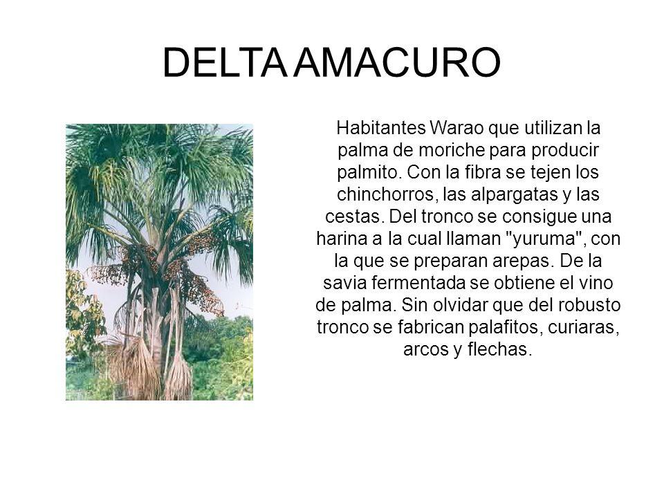 DELTA AMACURO Habitantes Warao que utilizan la palma de moriche para producir palmito. Con la fibra se tejen los chinchorros, las alpargatas y las ces