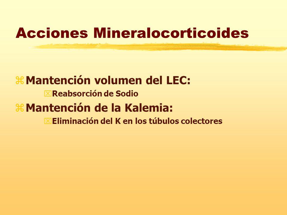 Acciones Mineralocorticoides zMantención volumen del LEC: xReabsorción de Sodio zMantención de la Kalemia: xEliminación del K en los túbulos colectores