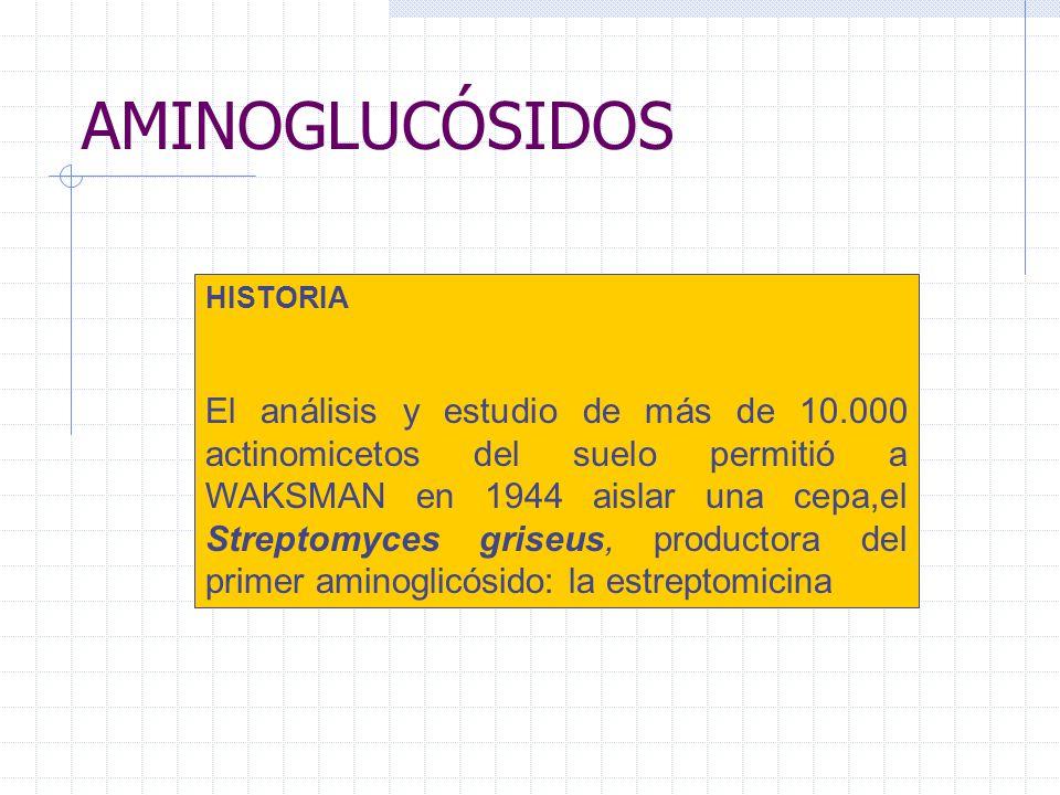 AMINOGLUCÓSIDOS HISTORIA El análisis y estudio de más de 10.000 actinomicetos del suelo permitió a WAKSMAN en 1944 aislar una cepa,el Streptomyces gri