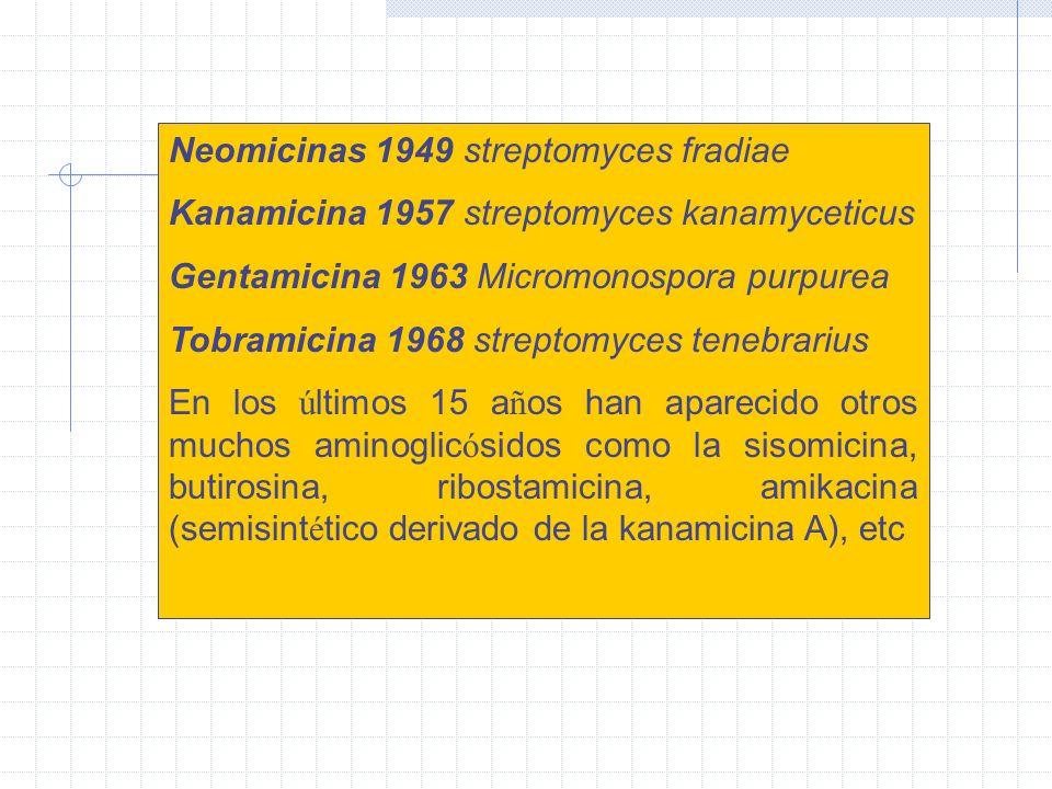 Neomicinas 1949 streptomyces fradiae Kanamicina 1957 streptomyces kanamyceticus Gentamicina 1963 Micromonospora purpurea Tobramicina 1968 streptomyces tenebrarius En los ú ltimos 15 a ñ os han aparecido otros muchos aminoglic ó sidos como la sisomicina, butirosina, ribostamicina, amikacina (semisint é tico derivado de la kanamicina A), etc