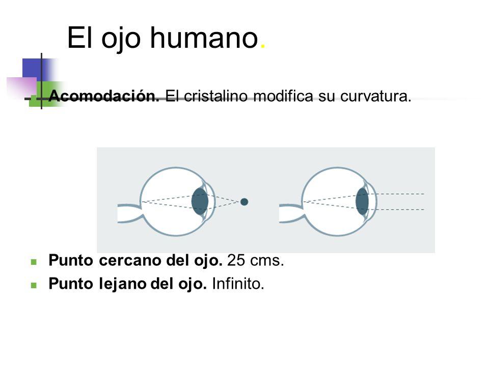 El ojo humano.Acomodación. El cristalino modifica su curvatura.