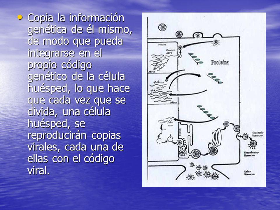 Copia la información genética de él mismo, de modo que pueda integrarse en el propio código genético de la célula huésped, lo que hace que cada vez que se divida, una célula huésped, se reproducirán copias virales, cada una de ellas con el código viral.