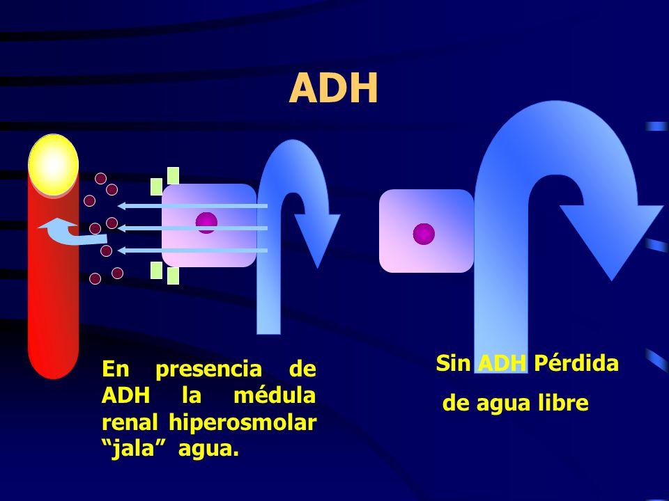 ADH Sin ADH Pérdida de agua libre En presencia de ADH la médula renal hiperosmolar jala agua.