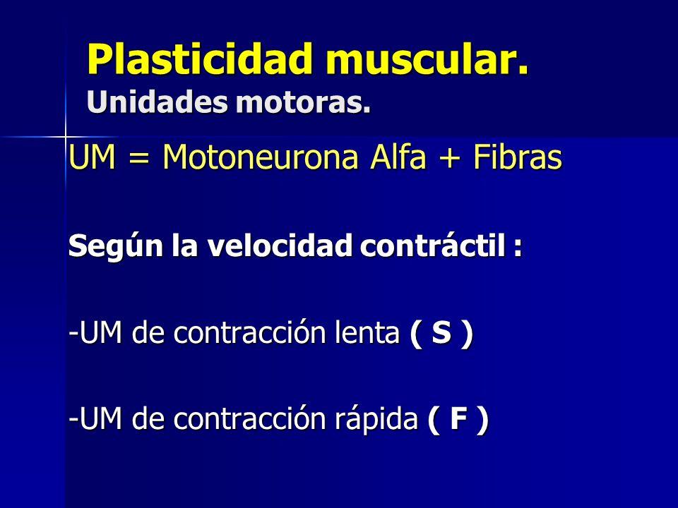 Plasticidad muscular. Unidades motoras. UM = Motoneurona Alfa + Fibras Según la velocidad contráctil : -UM de contracción lenta ( S ) -UM de contracci