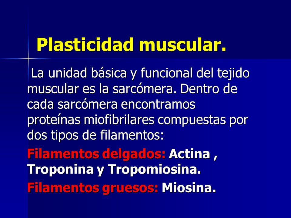 Plasticidad muscular. La unidad básica y funcional del tejido muscular es la sarcómera. Dentro de cada sarcómera encontramos proteínas miofibrilares c