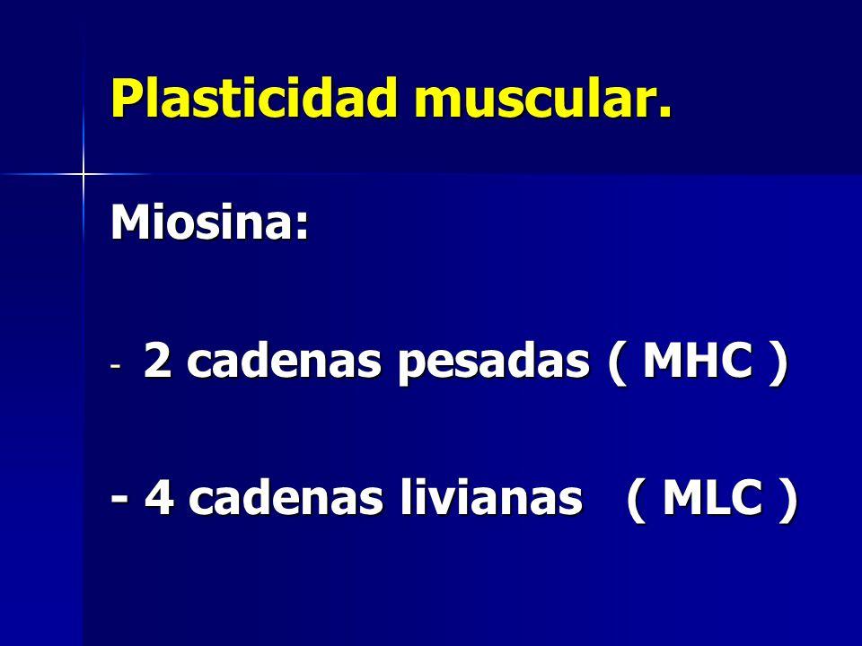 Plasticidad muscular. Miosina: - 2 cadenas pesadas ( MHC ) - 4 cadenas livianas ( MLC )