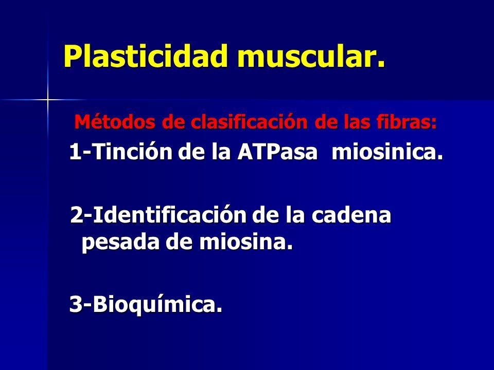 Plasticidad muscular. Métodos de clasificación de las fibras: Métodos de clasificación de las fibras: 1-Tinción de la ATPasa miosinica. 1-Tinción de l