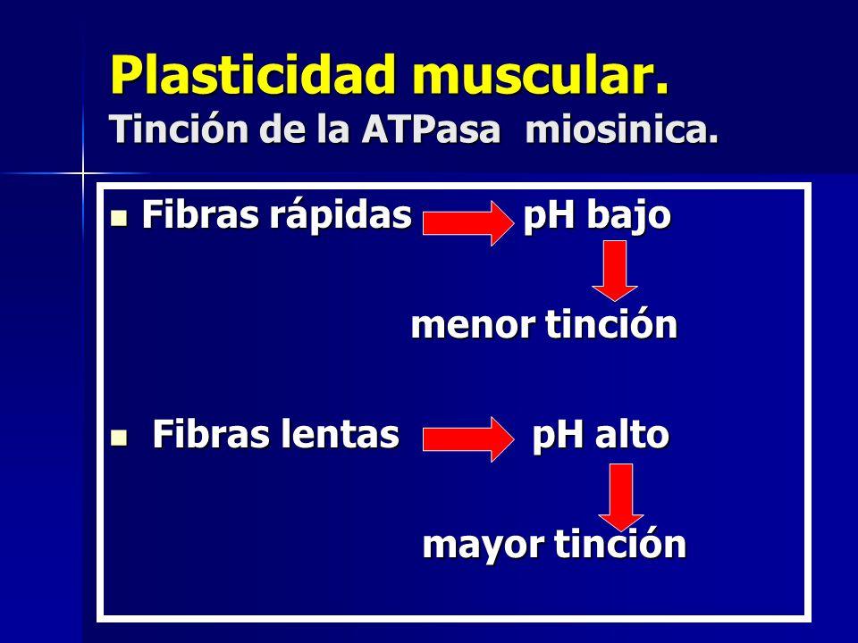 Plasticidad muscular. Tinción de la ATPasa miosinica. Fibras rápidas pH bajo Fibras rápidas pH bajo menor tinción menor tinción Fibras lentas pH alto