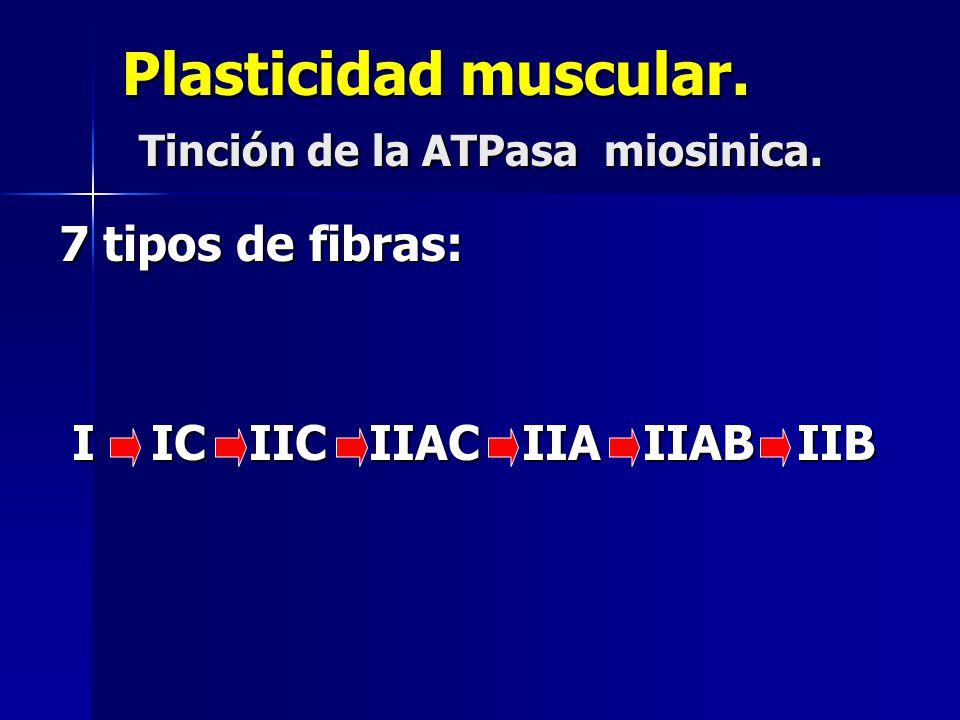 Plasticidad muscular. Tinción de la ATPasa miosinica. 7 tipos de fibras: I IC IIC IIAC IIA IIAB IIB I IC IIC IIAC IIA IIAB IIB