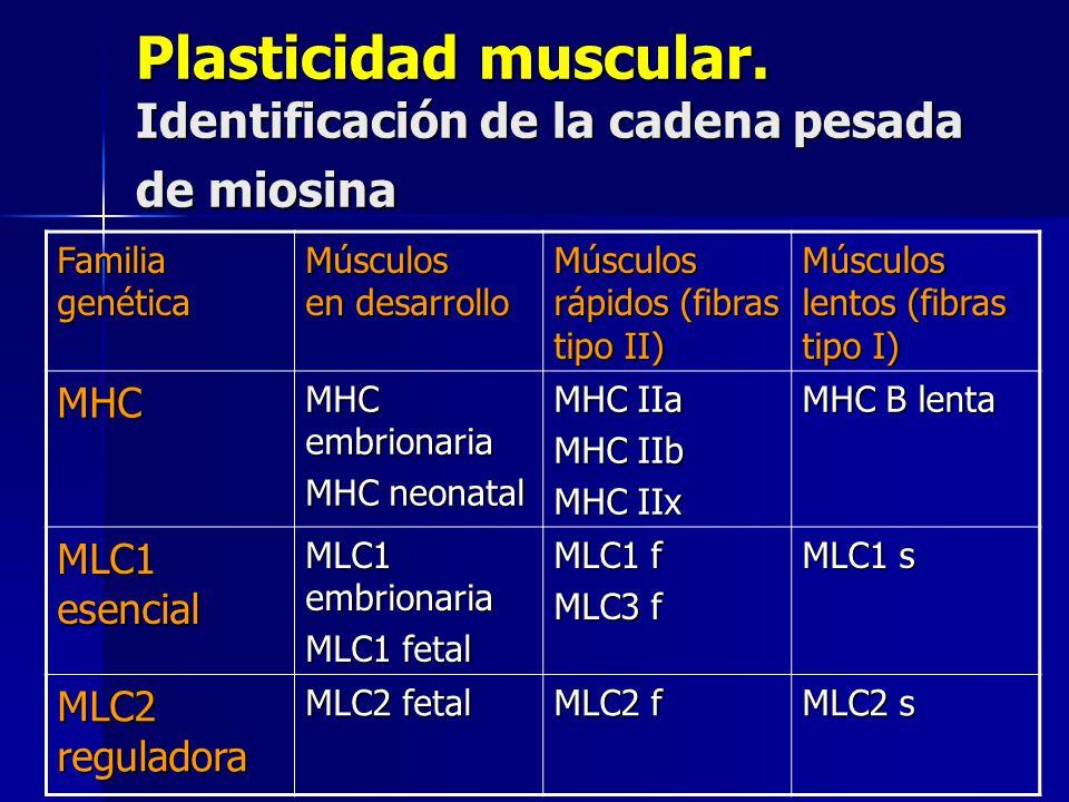 Plasticidad muscular. Identificación de la cadena pesada de miosina Familia genética Músculos en desarrollo Músculos rápidos (fibras tipo II) Músculos