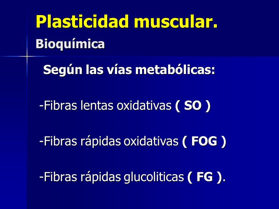 Plasticidad muscular. Bioquímica Según las vías metabólicas: Según las vías metabólicas: -Fibras lentas oxidativas ( SO ) -Fibras lentas oxidativas (