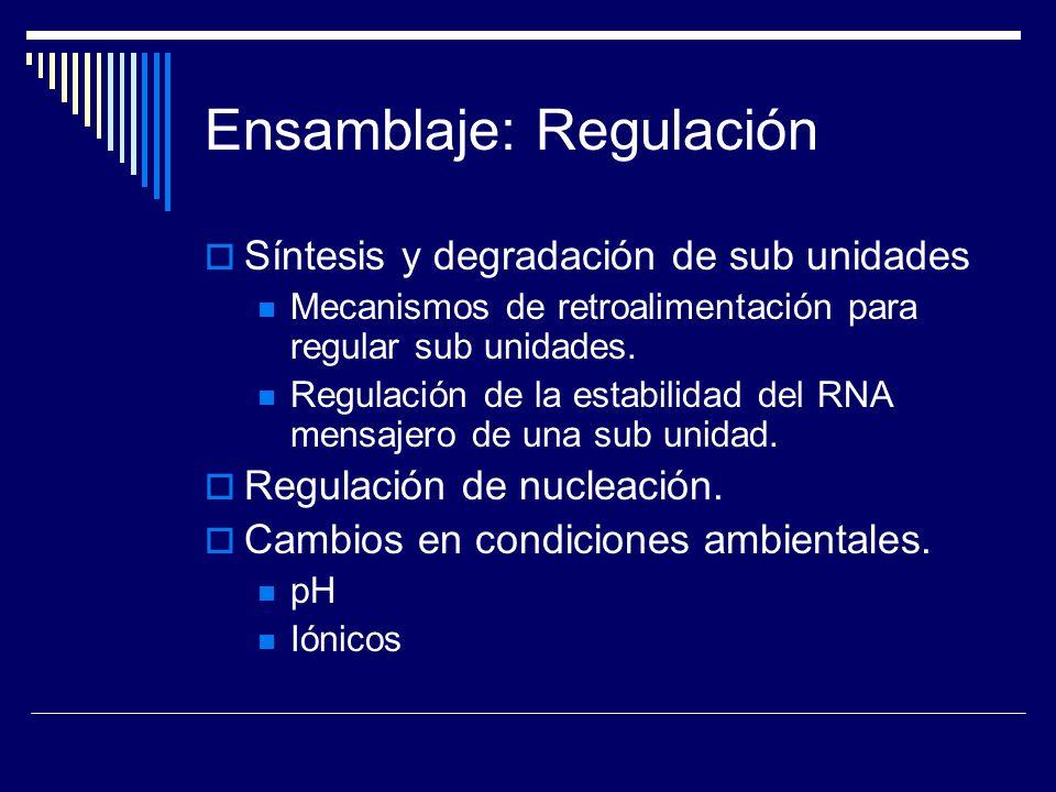 Ensamblaje: Regulación Síntesis y degradación de sub unidades Mecanismos de retroalimentación para regular sub unidades. Regulación de la estabilidad