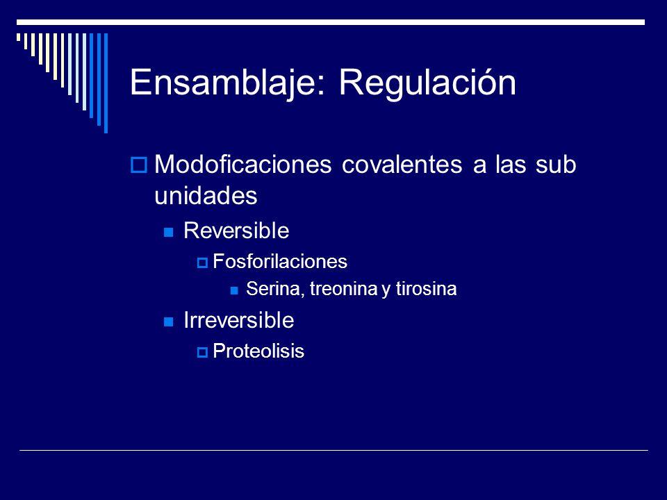 Ensamblaje: Regulación Modoficaciones covalentes a las sub unidades Reversible Fosforilaciones Serina, treonina y tirosina Irreversible Proteolisis