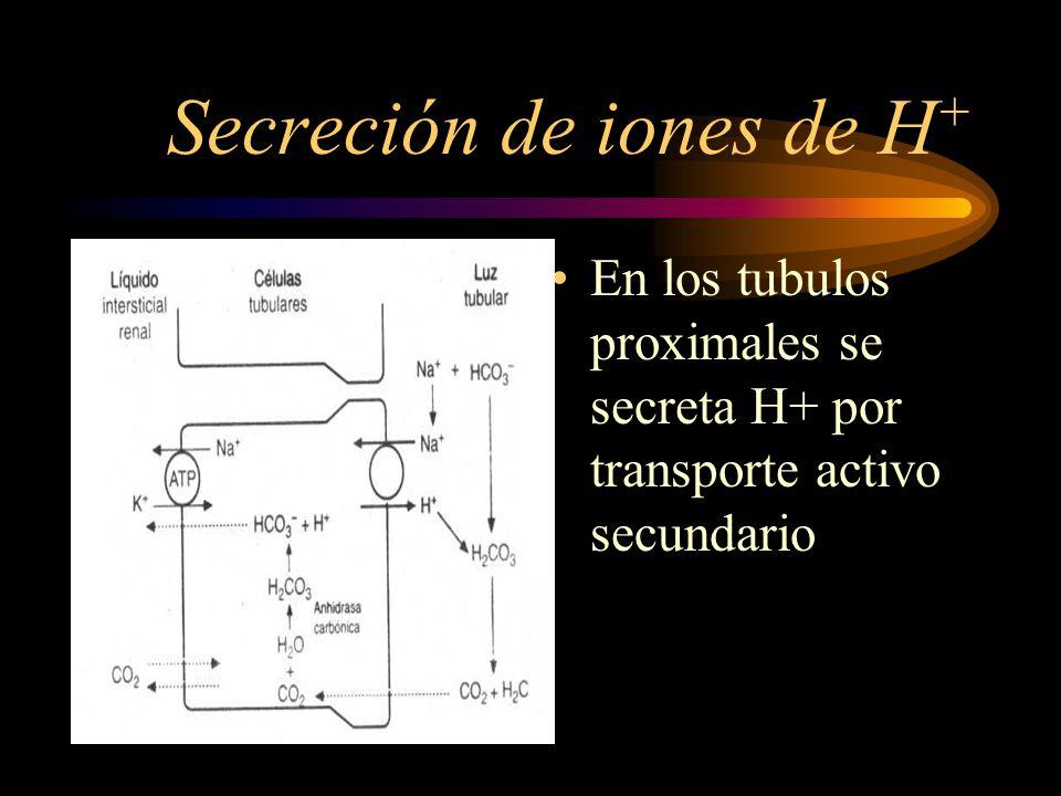 Secrecion de Iones de H + Tiene lugar en todas las porciones de los tubulos, salvo en las ramas finas ascendente y descendente de las asas de Henle.
