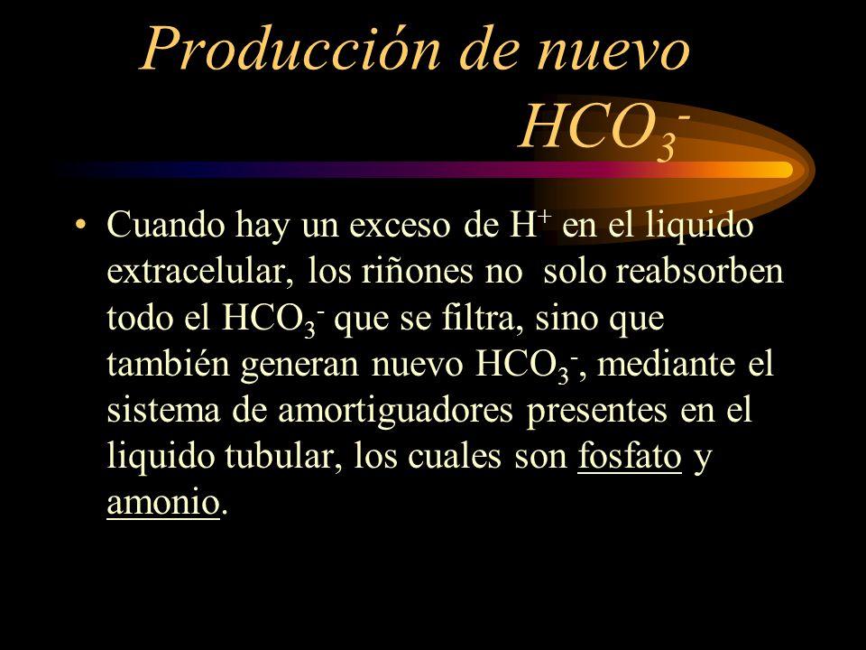 Reabsorcion de HCO 3 El 90% del HCO 3 - se reabsorbe en los tubulos proximales.