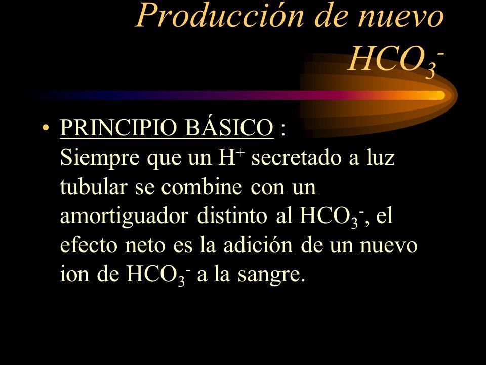 Producción de nuevo HCO 3 - Cuando hay un exceso de H + en el liquido extracelular, los riñones no solo reabsorben todo el HCO 3 - que se filtra, sino