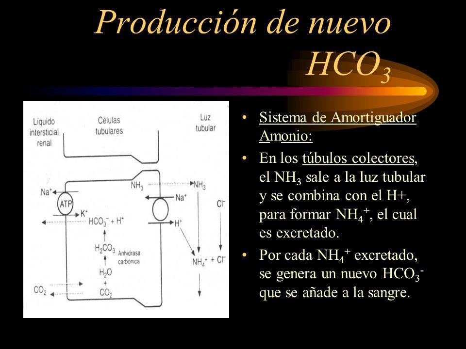Producción de nuevo HCO 3 Sistema de Amortiguador Fosfato : El fosfato NaHPO 4 reacciona con el exceso de H +, para formar NaH 2 PO 4, el cual es excr