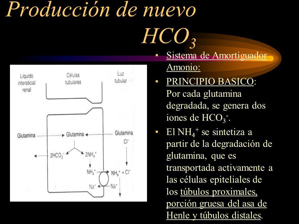 Producción de nuevo HCO 3 Sistema de Amortiguador Amonio: En los túbulos colectores, el NH 3 sale a la luz tubular y se combina con el H+, para formar