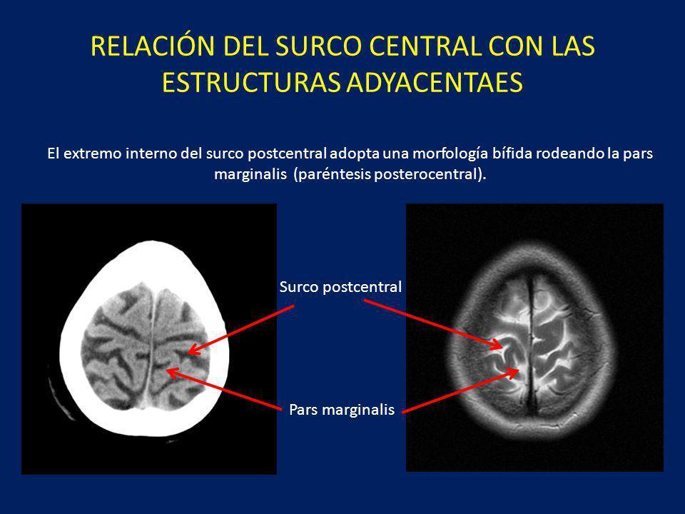 RELACIÓN DEL SURCO CENTRAL CON LAS ESTRUCTURAS ADYACENTAES El surco precentral se sitúa anterior a la circunvolución precentral y llega a contactar con el surco frontal superior.