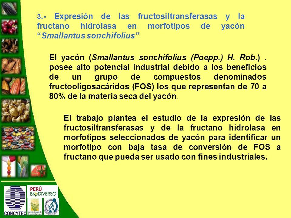 3.- Expresión de las fructosiltransferasas y la fructano hidrolasa en morfotipos de yacónSmallantus sonchifolius El yacón (Smallantus sonchifolius (Poepp.) H.